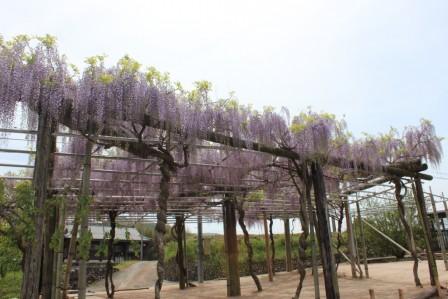 中野の藤棚